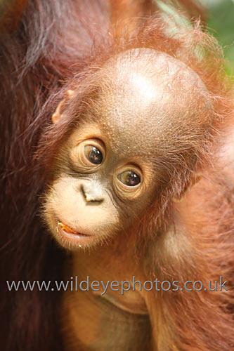 Baby Orang - Primates