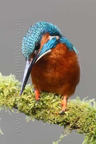 Hunting Kingfisher - British Birds