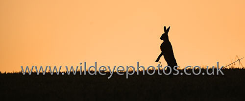 Sunset Hare - Panoramic & Slim Prints