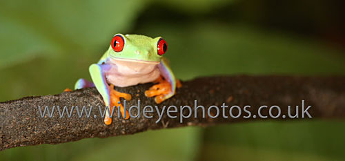 Tree Frog Resting - Panoramic & Slim Prints