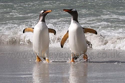 Pair Of Gentoos - Penguins