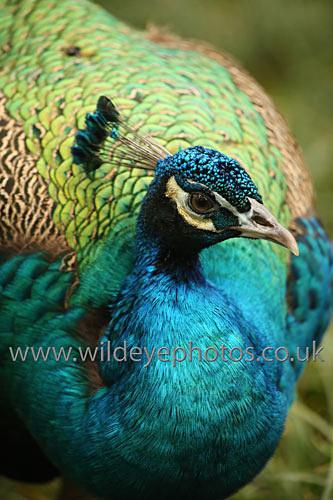 Peacock Profile - Birds