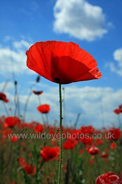 Lone Poppy - Landscape & Life