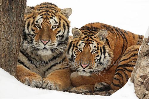 Pair Of Siberian Tigers - Tigers