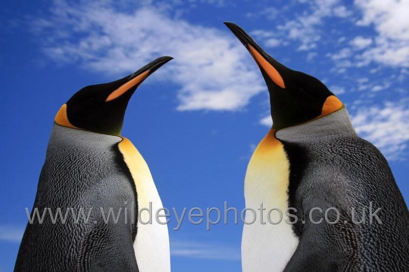 Kings & Sky - Penguins