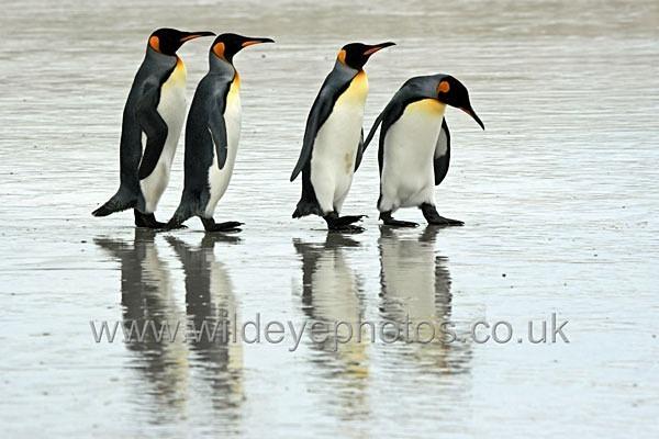 Curious Kings - Penguins