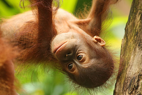 Orangutan Baby Hanging - Primates