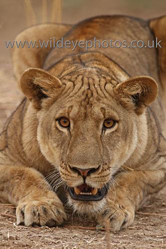 Playful Lioness - Lions