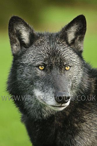 Tala Portrait - Wolves