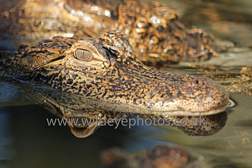 Gator - Reptiles, Amphibians & Insects