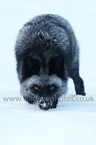 Black Fox Hunting - Wildlife