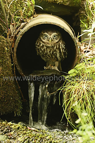 Dudley In The Pipe - Owls