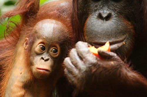 Orangutan With Mum - Primates