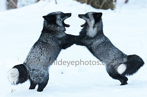 Black Foxes Sparring - Wildlife