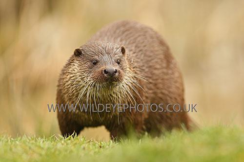 Posing Otter - British Wildlife