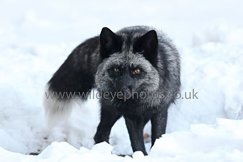 Black Fox Stare - Wildlife