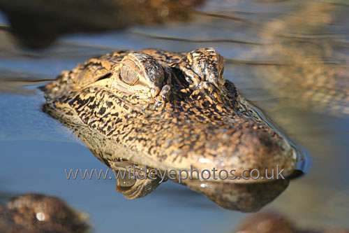 Gator In The Swamp - Reptiles, Amphibians & Insects
