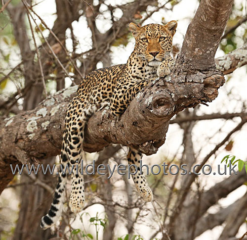 Leopard on a Branch - Squares