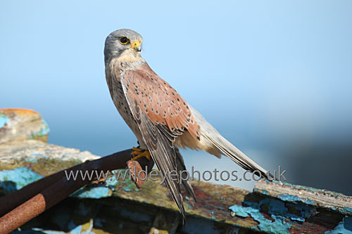 Resting Kestrel - Birds Of prey