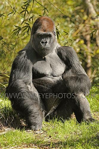 Relaxed Gorilla - Primates