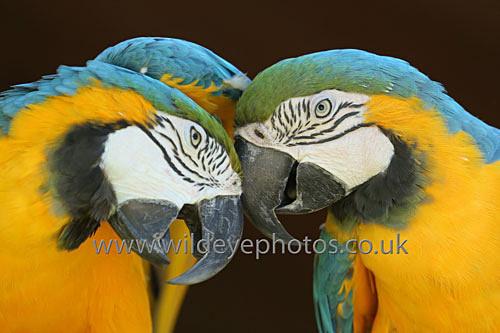 Macaw Duo - Birds