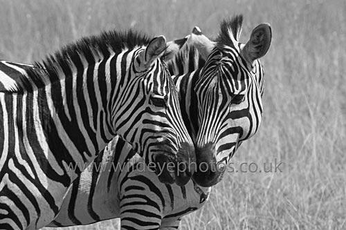 Kissing Zebras - Black & White