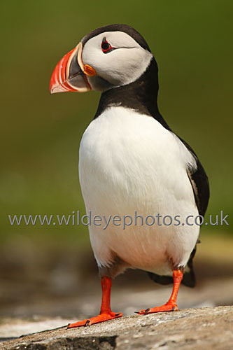 Puffin Perched - Puffins