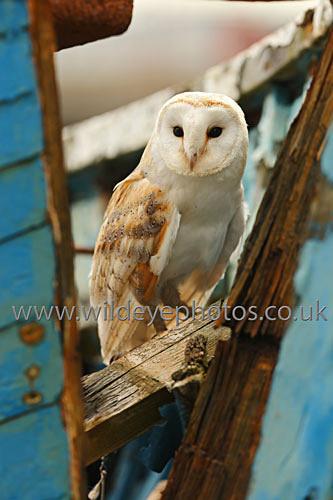Barn Owl on a Boat - Owls