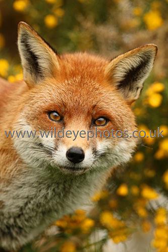 Fox In The Gorse - British Wildlife