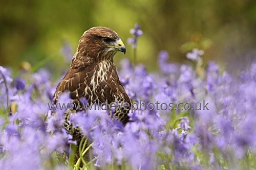 Resting Buzzard - Birds Of prey