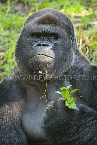Gorilla Lunch - Primates