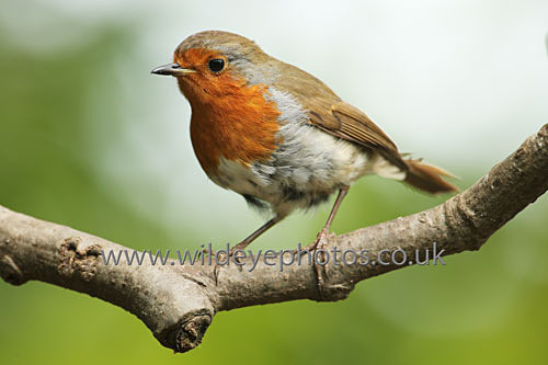 Hunting Robin - British Birds