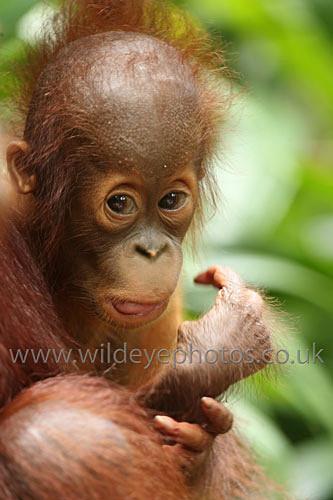 Curious Baby - Primates