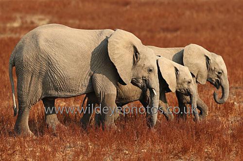 Eles On The Plain - Elephants