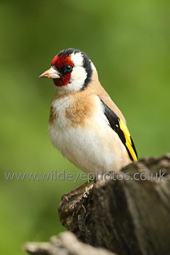 Goldfinch Resting - British Birds