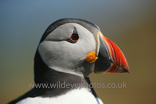 Heads Up - Puffins
