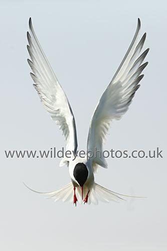 Arctic Tern - British Birds