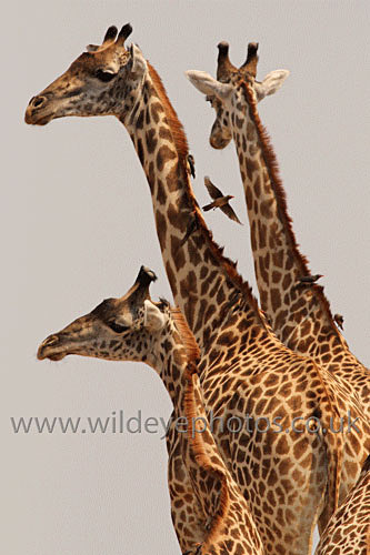 Taking Off From The Neck - African Wildlife