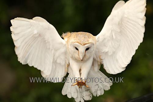 Barn Owl Swooping - Owls