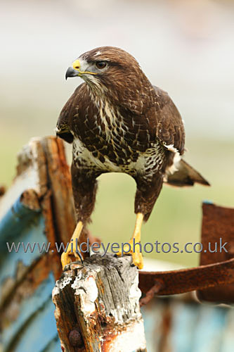 Boatyard Buzzard - Birds Of prey