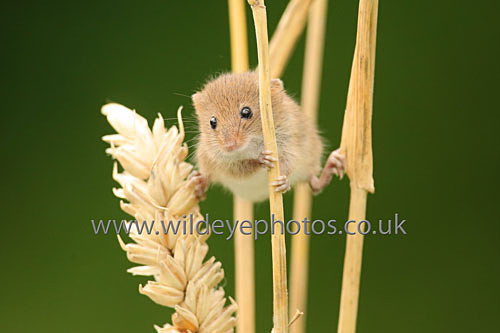 Peeping Mouse - British Wildlife