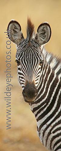 Curious Baby Zebra - Panoramic & Slim Prints