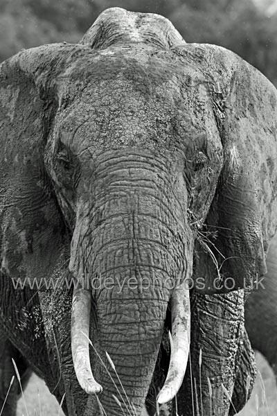 Elephant Face - Black & White