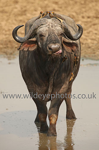 Buffalo Wallow - African Wildlife