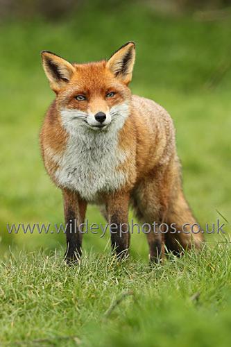 Smiling Fox - British Wildlife