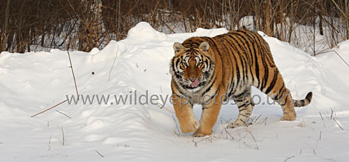 Stalking In The Snow - Panoramic & Slim Prints