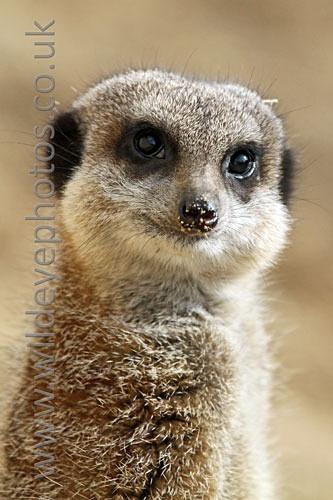 Meerkat Portrait - Wildlife