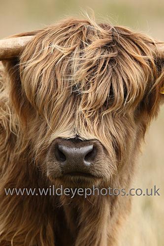 Highland Portrait - British Wildlife