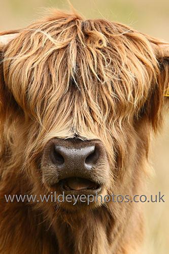 Laughing Cow - British Wildlife