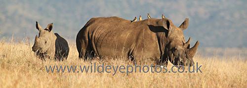 Rhino Mum & Baby - Panoramic & Slim Prints